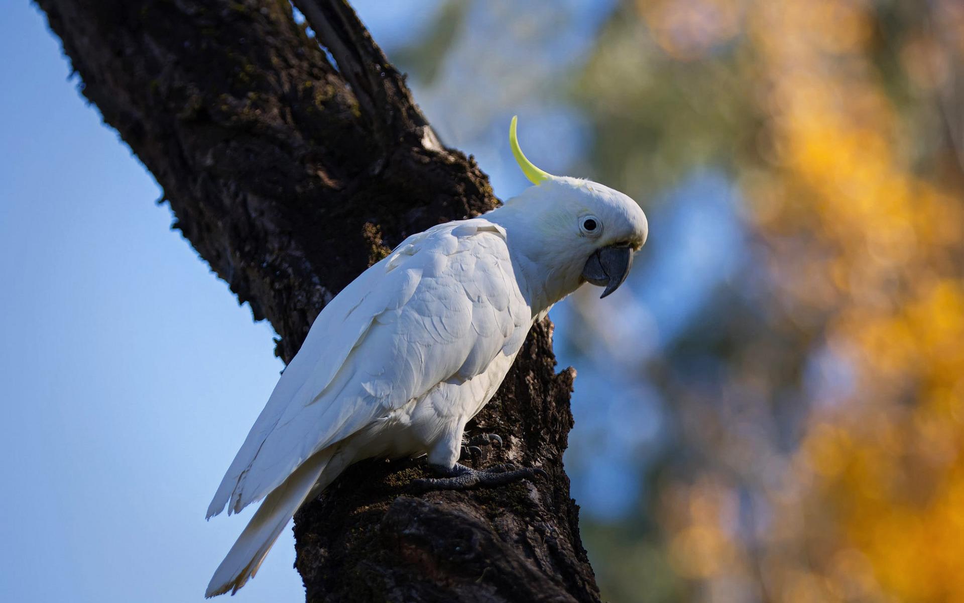 characteristics of cockatoo